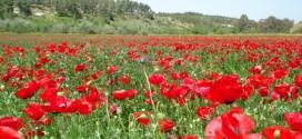 Poppy_field_near_Beit_Guvrin