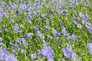 פרחי נחל ירמוך - מקור החסידה