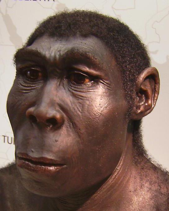 Homo erectus reconstruction by W. Schnaubelt & N. Kieser (Atelier WILD LIFE ART) Homo_erectus.JPG: photographed by User:Lillyundfreya