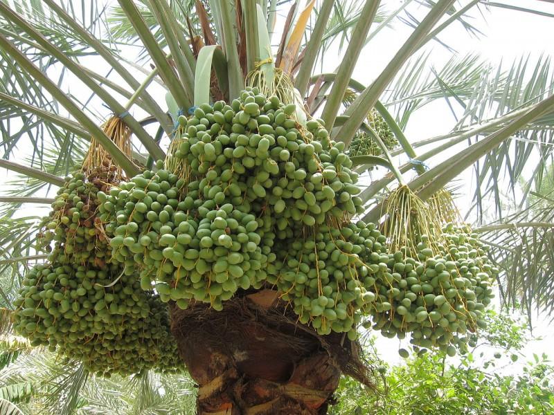 פירות של תמר מצוי יוצר: കാക്കര
