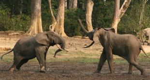 Forest_elephant - Photo: Dolovis