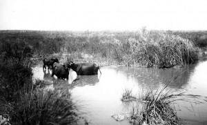 תאואים בביצות (1925)
